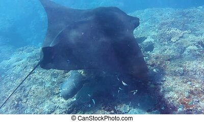 Manta Ray swims in indian ocean, wildlife - Snorkeling with...