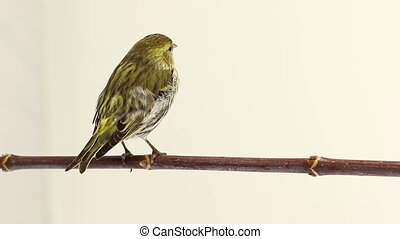 male siskin isolated on a white background, studio
