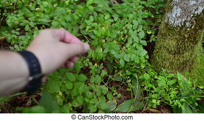 Human hand gathering wild ripe blueberries in forest - Human...