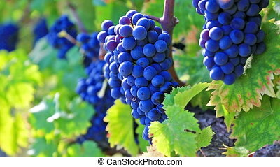 vineyard row with bunches of ripe red wine grapes