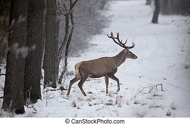 Red deer in snow - Red deer walking in forest on snow....