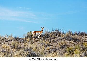 Pronghorn Antelope in american prairie, Utah, USA
