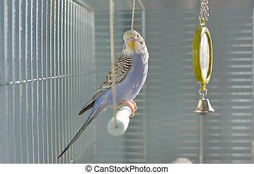 pappagallino ondulato, indaco, pappagallo