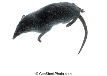 mammal animal shrew rat - mammal animal shrew rat isolated...