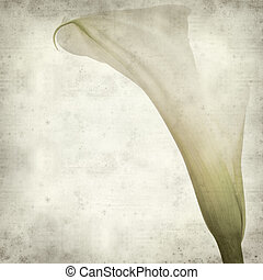 textured old paper background with white calle lily flower