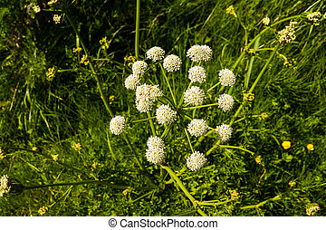 Anthriscus sylvestris or cow parsley Umbel - Overhead view...
