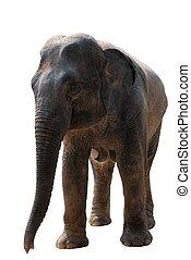 wild animal elephant isolated on white
