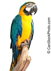portrait macaw bird isolated on white background