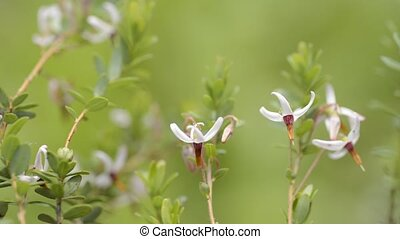 Cranberry flowers in front of green background
