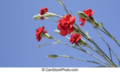 Red carnation flowers - Bright red carnation flowers under...