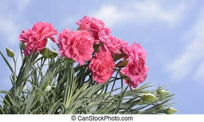 Pink carnation flowers - Several bright pink carnation...