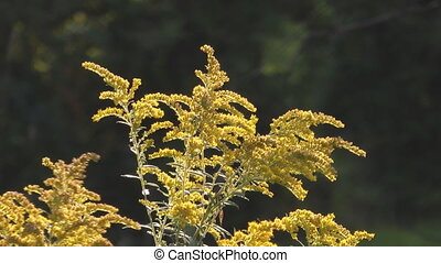 Goldenrod Plant Back Light In The Afternoon Summer Sun