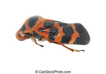 Minúsculo, inseto, cigarra, vermelho, pretas