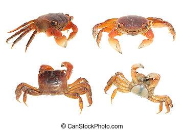 海鮮, 集合, 螃蟹, 彙整, 動物