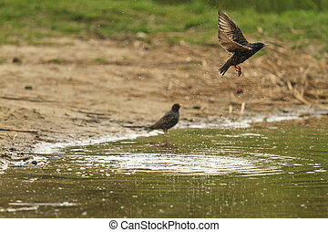 Starling flies from the surface of the lake