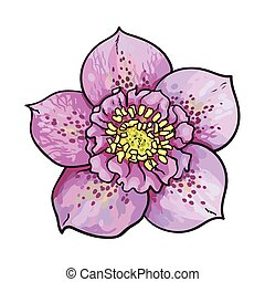 Hellebore, Christmas rose single purple flower, top view