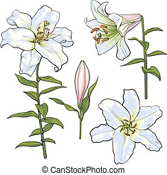 Set of hand drawn white lily flowers, side, top view - Set...