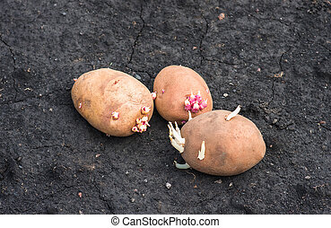 sprouted potatoes on the land, agrarian background - potato...