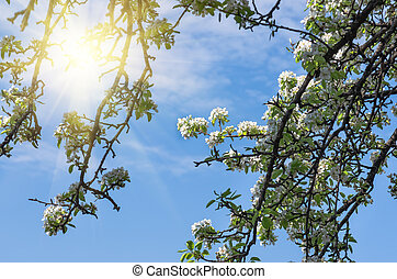 Blossom of a pear tree against the blue sky, sun and clouds,...
