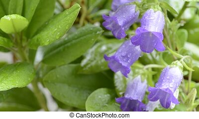 Canterbury bells flowers - Purple canterbury bells flowers...