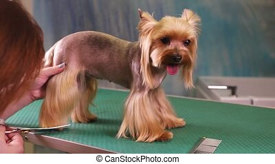 Yorkshire terrier Grooming in pet salon - Dog groomer cuts...