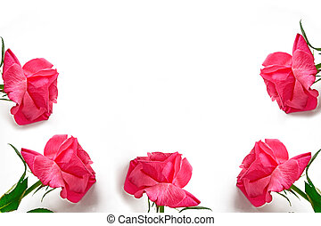 Flower bud roses on a white background