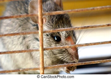 Rat trapped - a small mouse caught in a trap cage