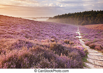 Path through blooming heather at sunrise, Posbank, The...