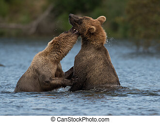 Two Alaskan brown bears playing - Two sub adult Alaskan...