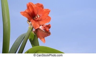 Red hippeastrum flower - Bright red hippeastrum flower under...