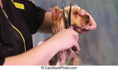 Groomer makes a dog hairstyle - Groomer using scissors to...