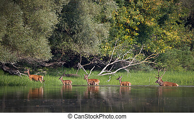 Red deer and hinds in river - Red deer and hinds walking...