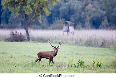 Red deer in forest - Red deer with big antlers standing on...