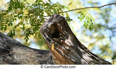 Hollow tree trunk with leaves are falling