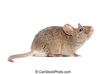 mouse close up isolated on white - grey mouse