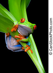 frog in a plant isolated black - red-eyed tree frog clinging...
