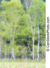 Ozegahara and fresh green leaves of Betula ermanii forest's...
