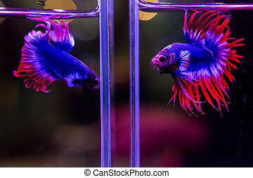 Siamese red and blue fighting fish isolated on black...