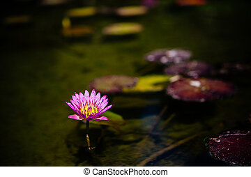 Single pink lotus or water lily flower illuminated at night...