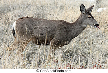 Mule Deer. Photo taken at Lower Klamath National Wildlife...