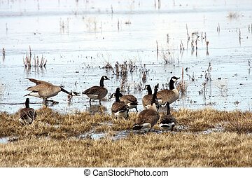 Canada Goose. Photo taken at Lower Klamath National Wildlife...