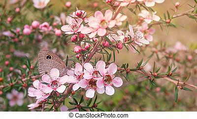 Australian Butterfly - Australian native butterfly and plant...