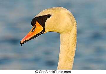 portrait of wild mute swan