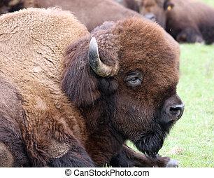 American Bison/Buffalo.  Photo taken at Northwest Trek Wildlife Park, WA.