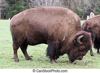American BisonBuffalo Photo taken at Northwest Trek Wildlife...