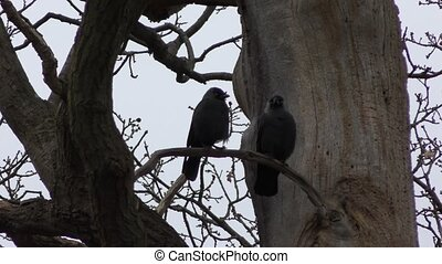 Jackdaw on a tree. A couple of black birds.