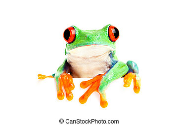 frog isolated on white for banner etc - red-eyed tree frog...