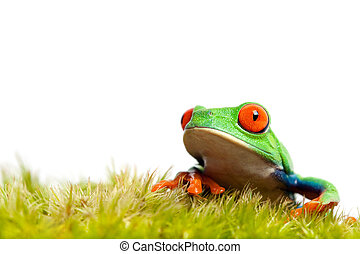 green frog on moss isolated - green frog on natural moss...