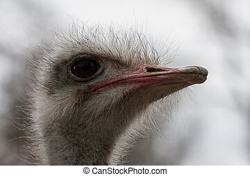 Portrait of ostrich - Portrait of a ostrich in the zoo of...