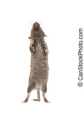 mouse from below isolated - mouse standing against glass...